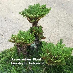 bioadaptive botanical - Resurrection Plant