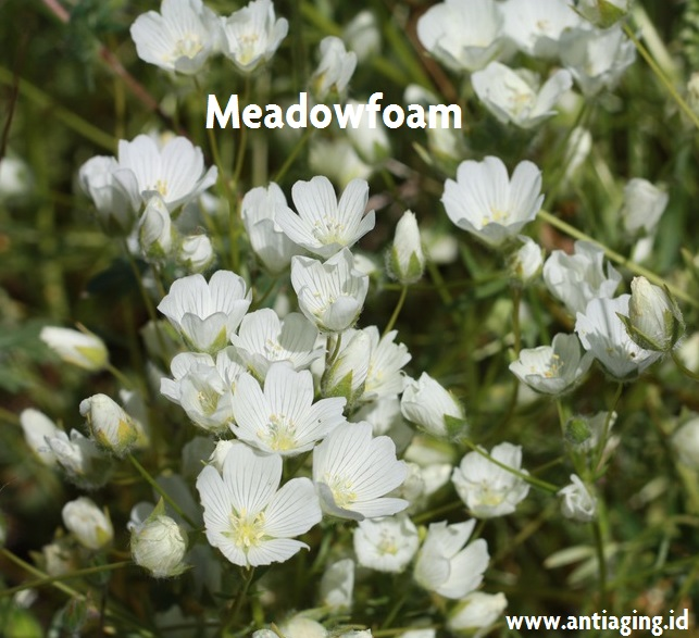 meadowfoam